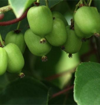 Owoce MiniKiwi rosną w oczach